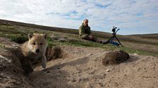 An Arctic wolf pup pops out of the den while Gordon looks on