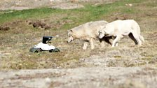 Adult female wolves Luna and Atka are fascinated by a 'buggycam'