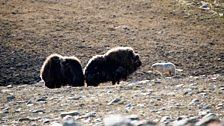 A yearling wolf assessing whether or not to take on a bull muskox