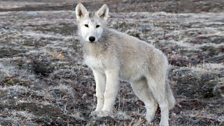 Arctic wolf pup Banjo in late Autumn