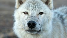 Yearling Arctic wolf Scruffy using smell to check out the camera