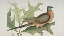 Estimates vary, but it is thought there were between 3 and 10 billion passenger pigeons when Europeans discovered America