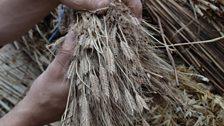 Heritage grain