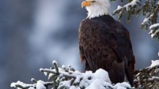 Bald eagle perching in the forest