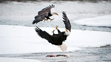 Bald eagle aerial combat on the Chilkat River