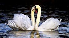 Swans on Queen Elizabeth II Lake in Ashington
