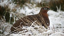 Grouse on the Weardale, Teesdale border