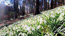 Snowdrops at Hawthorn Dean