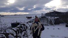 Snowy lambing at Broomley