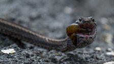 Fish-eating snake