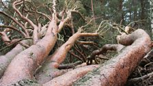 Fallen Scots Pine