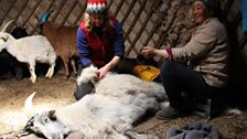 Kate combs a cashmere goat with nomadic herder Tsitsegar inside a Ger