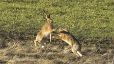 Mad march hares near Chatton John Davison.jpg