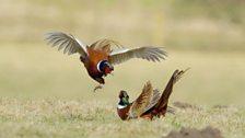 Pheasants fighting near Chillingham Castle