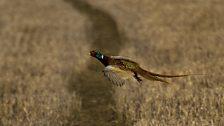 Pheasant flight near Holywell Village