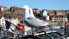 Whitby Herring gulls in March