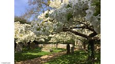 Listeners' Spring blossom pictures
