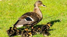 Ducklings in a Ripon garden