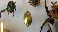 This golden beetle appears invisible in its Amazon rainforest environment
