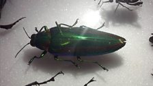 An emerald beetle that can maintain its colour for millenia after death