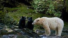 Ghost bear family