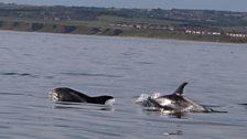 Dolphins off Marske