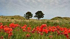 Poppies at Bamburgh