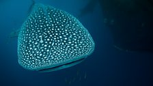 The bay is over a kilometre deep and is the only place where whale sharks – the largest fish on Earth – live all year round