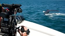 Cameraman Scott Tibbles gets a close view of a humpback whale in the Sea of Cortez