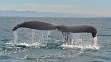 Humpback whale fluke around Monterey Bay, California taken during the production team recce, February 2015