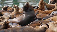 California sea lions, Big Blue Live recce, March 2015