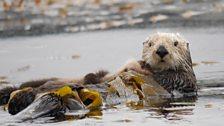 Sea otter, Monterey Bay, Big Blue Live recce, March 2015