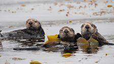 Three sea otters, Monterey Bay, Big Blue Live recce, March 2015