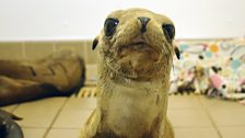 A curious rescued sea lion pup looks into the camera