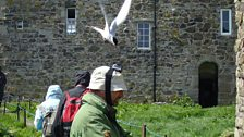 Richard under attack from an Arctic tern defending its eggs