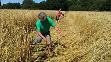 Heritage wheat harvest, Sussex; Courtesy of @Brockwell_Bake
