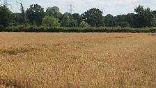 Devon wheat field; Courtesy of @FarmBolus
