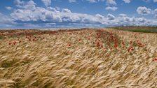 Barley crop at Warkworth
