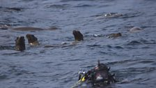 Cameraman Johnny Rogers surfaces followed by inquisitive sea lions