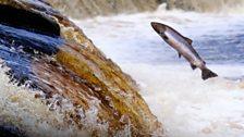 Salmon run in Tyne near Hexham