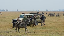 Liz Bonnin and her film crew watch as a newly collared zebra returns to its herd