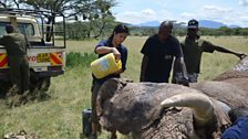 Liz Bonnin helps to keep an elephant cool with water while Save the Elephants vets fit a satellite collar
