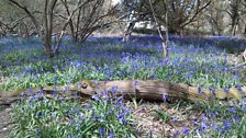 Sue in Otterbourne sent this image of bluebells in the woods