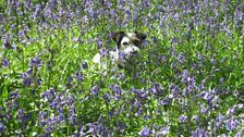 Roger in Newton, IOW, sent in this image of his dog in the bluebells