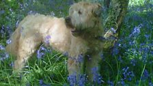 Another dog chilling in the bluebells; thanks to Diana from Southampton for this