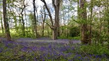 Julie from Bournemouth sent this photo of wonderful woodland covered in blue flowers