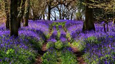 These bluebells at Durdle Door are beautiful! Thanks to David for the photo