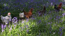 Johanne from Windelsham in Surrey sent this photo of chickens having a walk in the bluebells