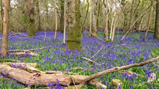 Bluebells in the wood - captured by Chrissie from Verwood