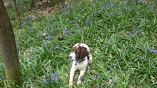 Colin sent us this photo of his adorable dog making himself comfy on some bluebells